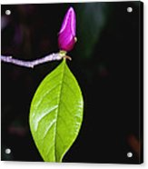 Budding Tulip Tree Bloom Acrylic Print