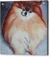 Buddy - Pomeranian Acrylic Print