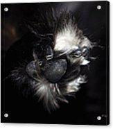 Buddys Fluffy Paw Acrylic Print