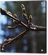 Buds Of Spring Acrylic Print