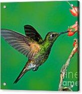 Buff-tailed Coronet Acrylic Print