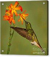 Buff-tailed Coronet Hummingbird No 1 Acrylic Print