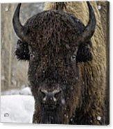 Buffalao In Snow Acrylic Print