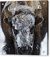 Buffalo #0057 Acrylic Print