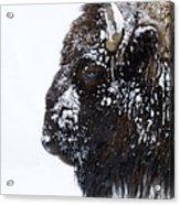 Buffalo   #0164 Acrylic Print
