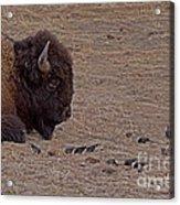 Buffalo And Birds   #2236 Acrylic Print