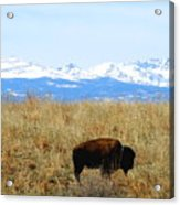 Buffalo And The Rocky Mountains Acrylic Print