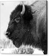 Buffalo Black And White Acrylic Print