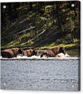 Buffalo Crossing - Yellowstone National Park - Wyoming Acrylic Print