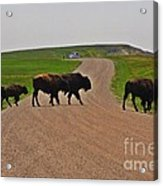 Buffalo Crossing Acrylic Print