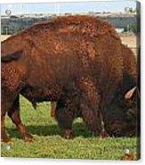 Buffalo Acrylic Print
