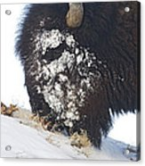 Buffalo Eating   #9634 Acrylic Print