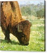 Buffalo Grazing  Acrylic Print