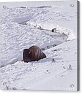 Buffalo In Snow   #6872 Acrylic Print