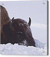 Buffalo In Snow   #6920 Acrylic Print