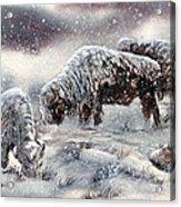 Buffalo In Snow Acrylic Print