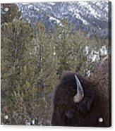 Buffalo In The Mountain   #4169 Acrylic Print