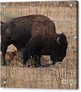 Buffalo Of Antelope Island Iv Acrylic Print