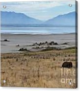 Buffalo Of Antelope Island V Acrylic Print