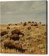 Buffalo On The Prairie Acrylic Print