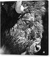 Buffalo Portrait Acrylic Print by Robert Frederick