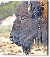 Buffalo Tongue Acrylic Print