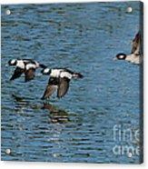 Bufflehead Duck Trio In Flight Acrylic Print