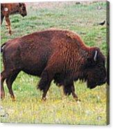 Buffalo Mom Acrylic Print