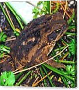 Bufo Toad Acrylic Print