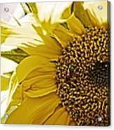 Bug In The Sunflower Acrylic Print