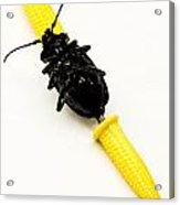 Bug On The Cob Acrylic Print by Amy Cicconi