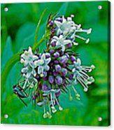 Bug On Wild Mint On Great Glacier Trail In Glacier National Park-british Columbia  Acrylic Print
