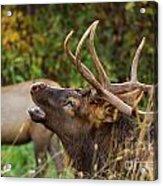 Bugling Bull Elk Acrylic Print
