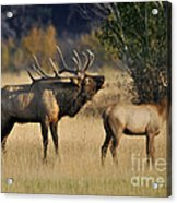 Bugling Elk With Calf Acrylic Print
