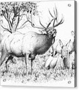 Bull And Harem Acrylic Print