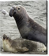 Bull Approaches Cow Seal Acrylic Print by Mark Newman
