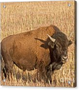 Bull Bison At The  Elk Ranch Grand Teton National Park Acrylic Print