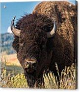 Bull Bison Acrylic Print