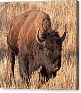 Bull Bison Running In Yellowstone National Park Acrylic Print