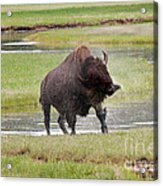 Bull Bison Shaking In Yellowstone National Park Acrylic Print