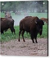 Bull Buffalo Guarding Herd With Green Grass Acrylic Print