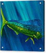 Bull Dolphin Acrylic Print