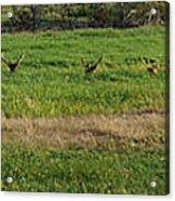Bull Elk At Dean Creek Acrylic Print