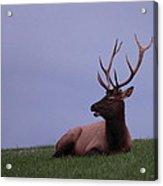 Bull Elk At Dusk Acrylic Print