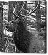 Bull Elk Bw Acrylic Print