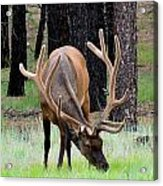 Bull Elk Grazing Acrylic Print by Carrie Putz