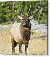 Bull Elk IIII Acrylic Print