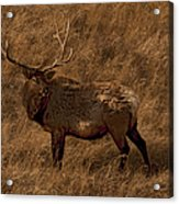 Bull Elk In Evening Light Acrylic Print