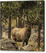 Bull Elk In Forest Acrylic Print