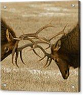Bull Elk In The Rut   #8924 Acrylic Print